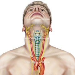 Throat Anatomy Diagram Ford Tractor Wiring 4000 And Mouth Images Human Vascular Vessels Of The