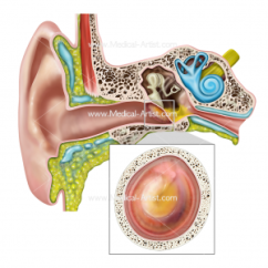 Throat Anatomy Diagram 1988 Volvo 240 Radio Wiring Ent Illustrations Ear Nose Medical And