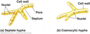 Fungi Hyphae | Medical Laboratories