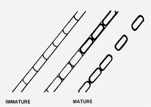 Terminology Related to Morphologic Features of Molds