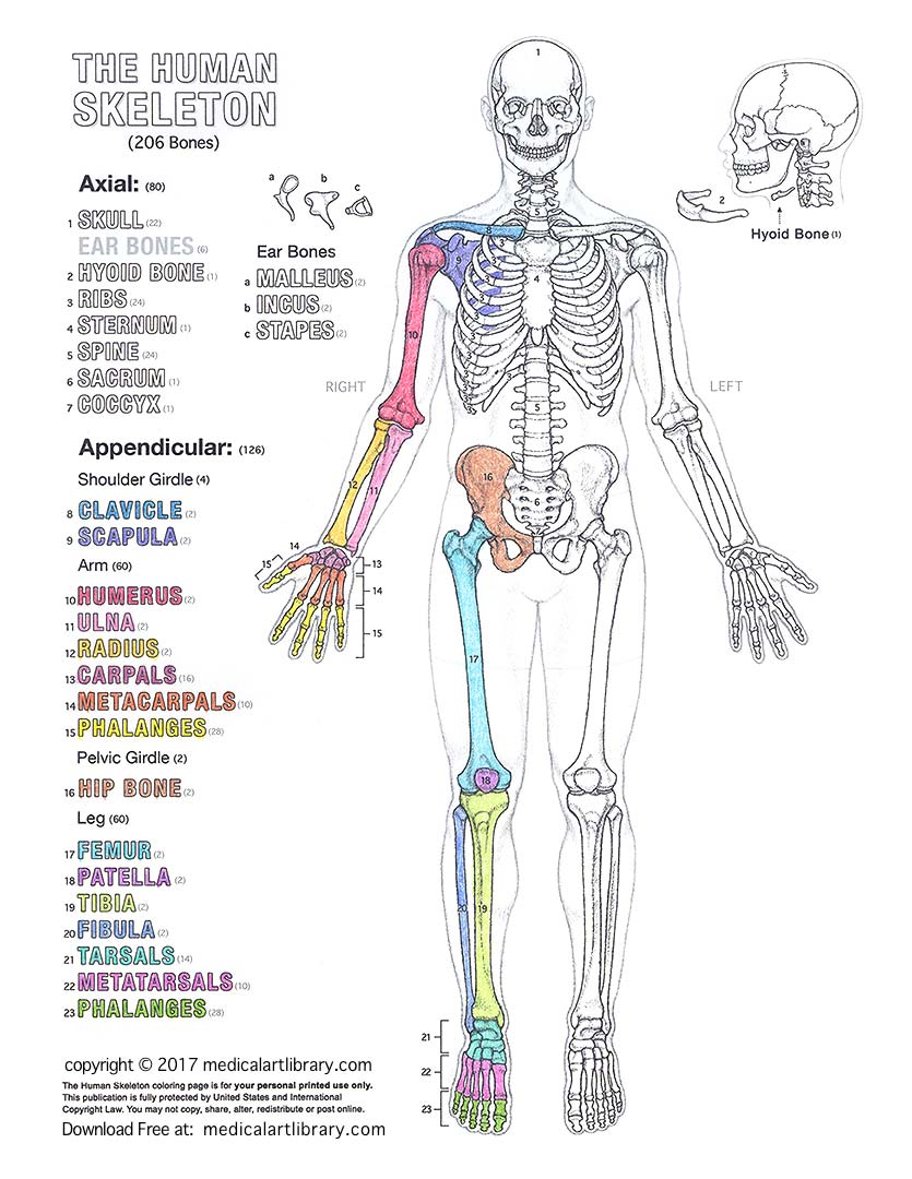 hight resolution of human skeleton diagram for coloring