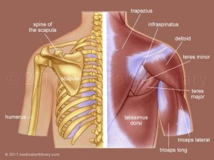 Upper Back Muscles  Medical Art Library