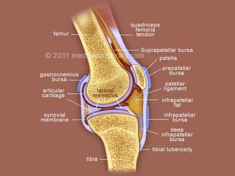 Hand Diagram Ligaments Knee Joint Cross Section Medical Art Library