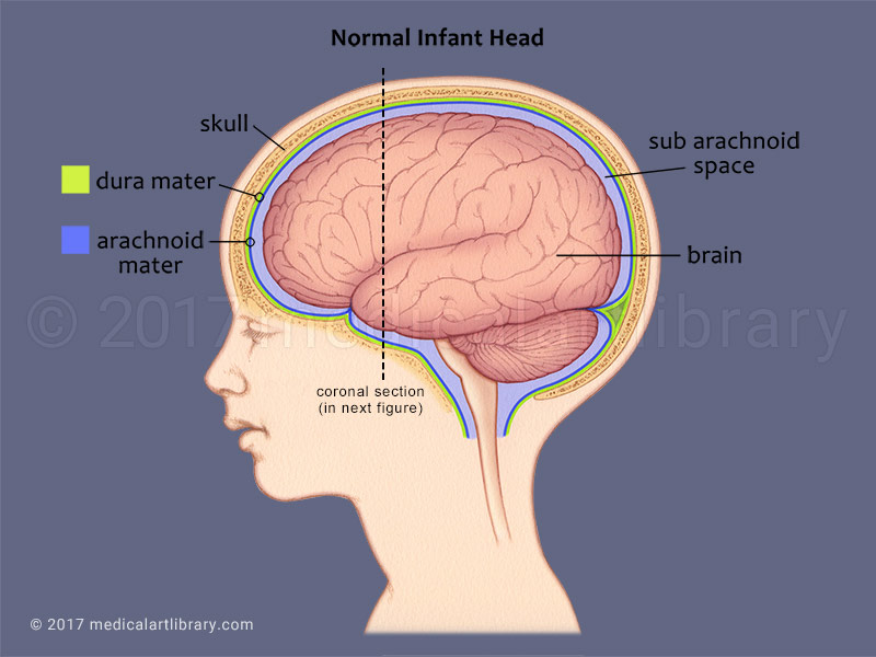 labelled diagram of human brain wiring for potential relay infant side view - medical art library