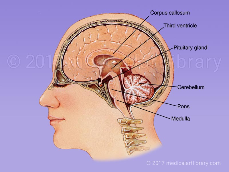 Labeled Spinal Cord Diagram Brain Anatomy Internal Structures Medical Art Library