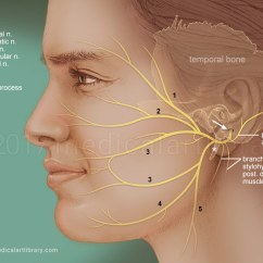 Back Of Throat Diagram Tang Soo Do Forms Diagrams Facial Nerve - Medical Art Library