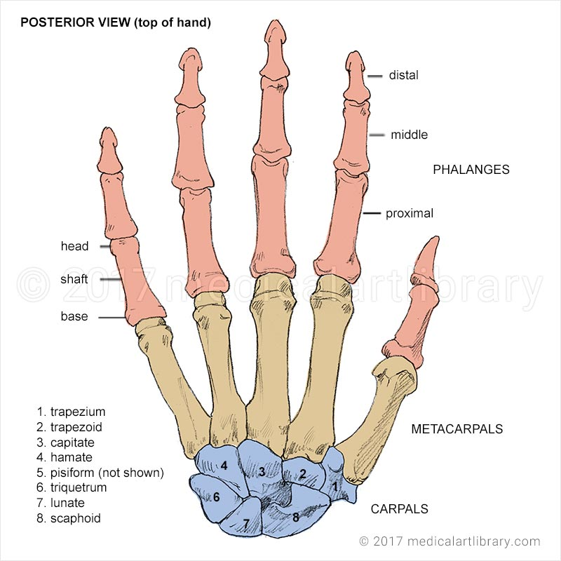 Simple Diagram Of The Urinary System Hand Bones Medical Art Library
