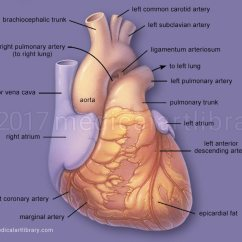 Coronary Arteries Diagram Branches Mallory Distributor Wiring Heart Anatomy - Medical Art Library