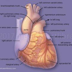 Coronary Arteries Diagram Branches 1986 Ez Go Gas Golf Cart Wiring Heart Anatomy - Medical Art Library