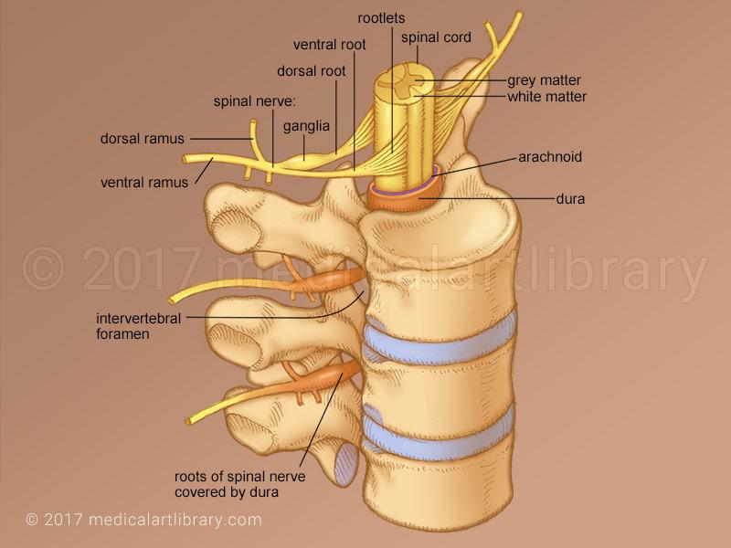 hand nerves diagram ethernet cable wiring spinal nerve - medical art library