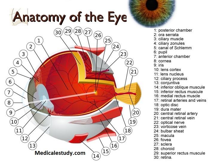 Anatomy of the Eye - USMLE 1 - www.MedicalTalk.Net the ...
