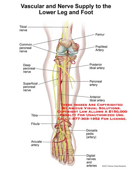 lower leg nerve diagram how to wire a 2 way light switch amicus illustration of anatomy foot vascular nerves no description available