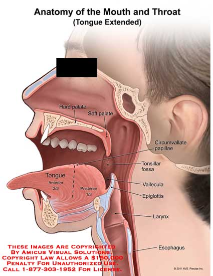 throat anatomy diagram 2004 pontiac grand am rear speaker wiring amicus illustration of mouth tongue extended no description yet