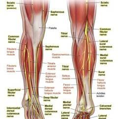 Lower Leg Nerve Diagram Blank Amicus Illustration Of Anatomy Nerves Sciatic The No Description Yet