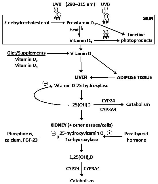 Factors Influencing Vitamin D Status | HTML | Acta Dermato ...