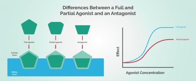 Cannabis Endocannabinoid System - Agonist vs Antagonist