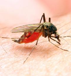 the anopheles mosquito passes on malaria  [ 1100 x 782 Pixel ]