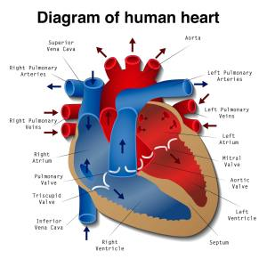 Heart Disease: Definition, Causes, Research  Medical News