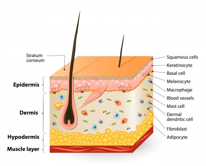 dermis layer diagram 2002 dodge neon wiring radio 7 simple skin of layers great installation carcinoma basal cell and squamous labeled three main
