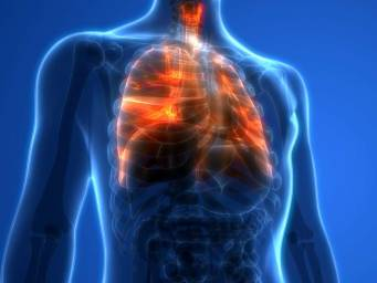 What do the lungs do, and how do they function?
