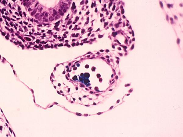 Birth of hematopoietic stem cells