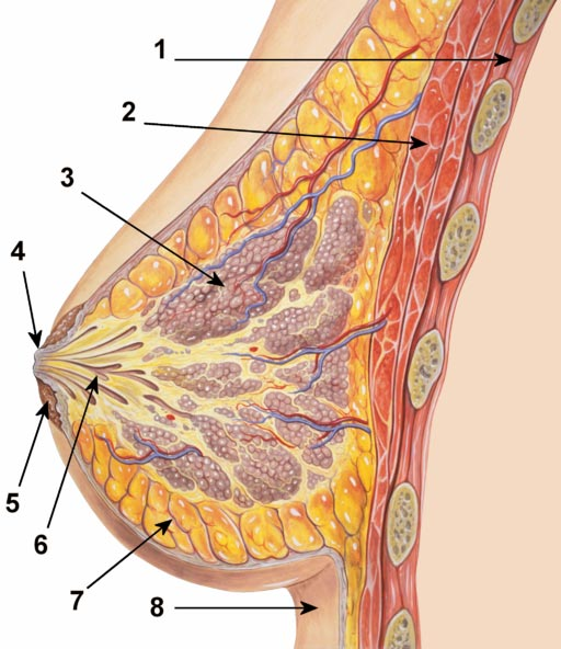 Breast anatomy normal scheme