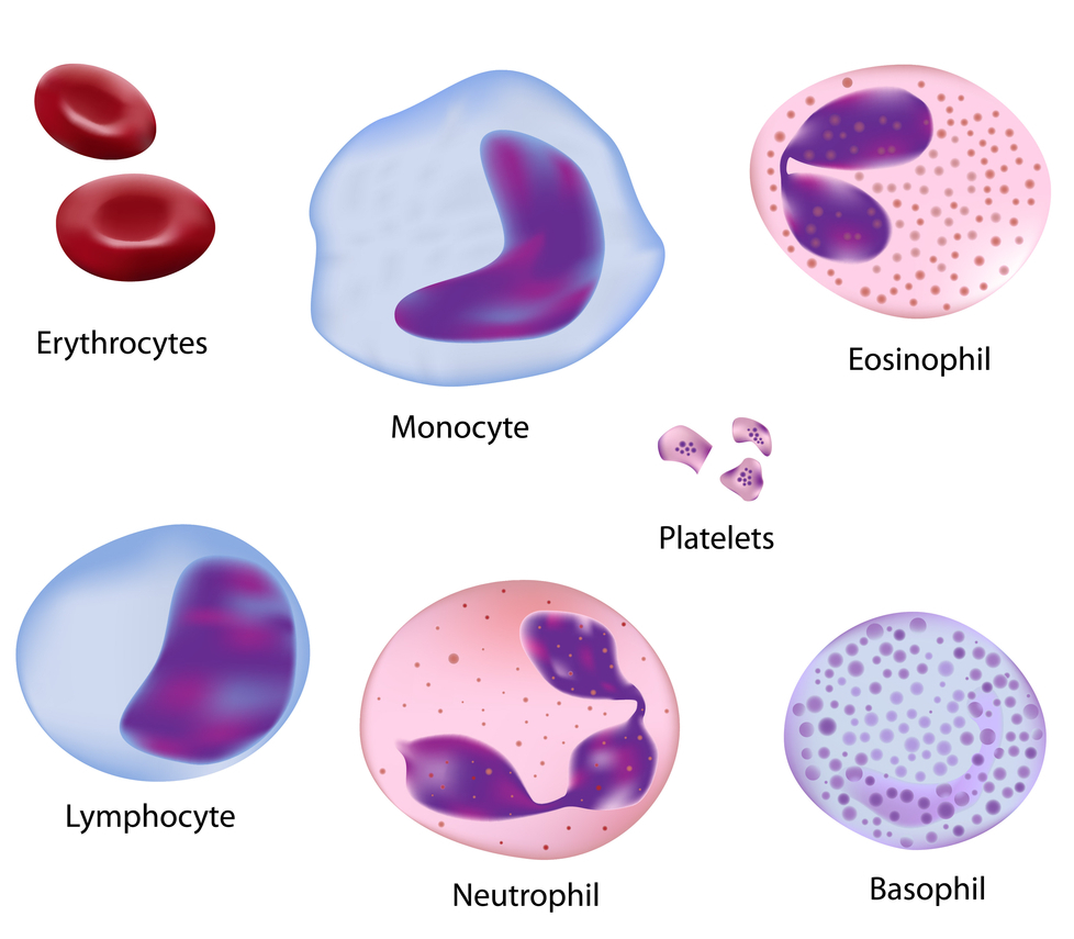 Type White Blood Cell Diagram Labeled