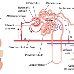 Kidney Nephron Structure Diagram 2002 Ford Explorer Parts Path Of Blood Flow In A Kidnye Cortical And Its Associated Vessels