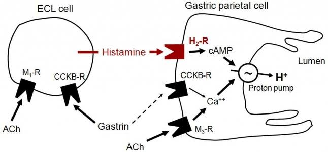 Indirect Effect of Gastrin on Hcl releasing from Pariteal
