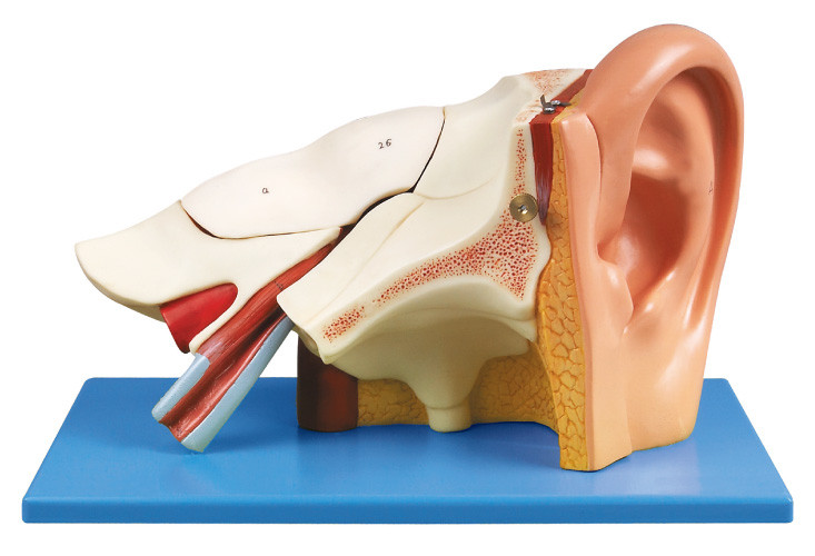 Three times Ear Human Anatomy model with removable pars ...