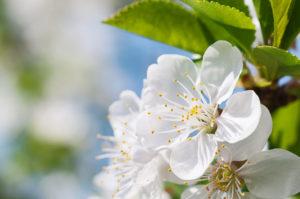Spring flowers of fruit trees