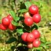 Airelle rouge (Vaccinium vitis idaea)