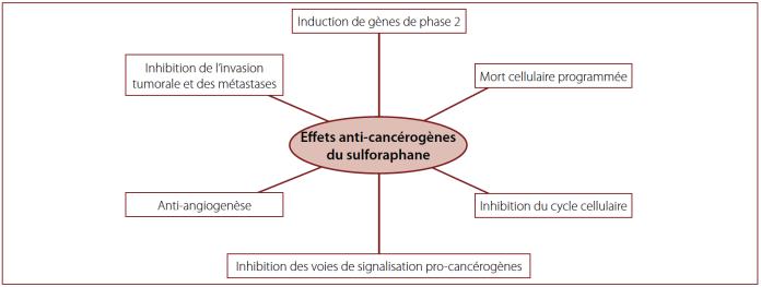 Fig. 4 – Effets anti-cancérigènes du sulforaphane (modifiés selon Zhang et Tang, 2007)