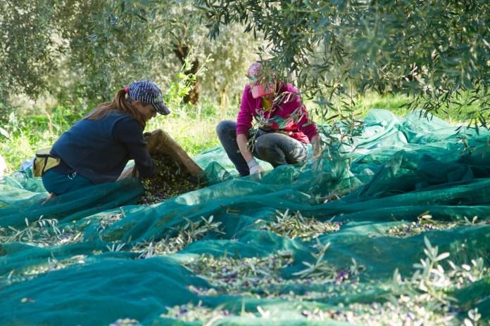 L'huile d'olive : un trait d'union social (partie 3)