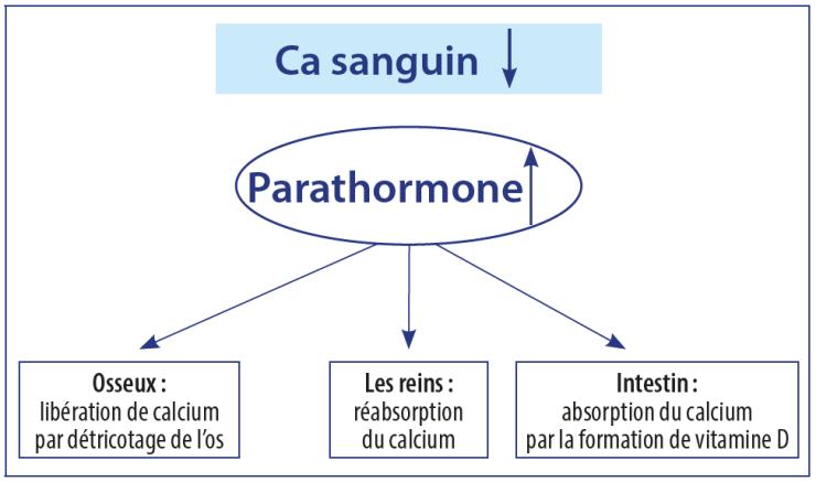 La parathormone régule le taux de calcium dans le sang