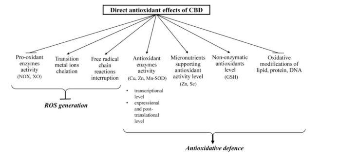 CBD : Propriétés antioxydantes directes et indirectes