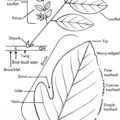 Fern Simple Diagram 2005 Wrangler Radio Wiring How To Use This Book Small Tree Medicinal Plants Archive