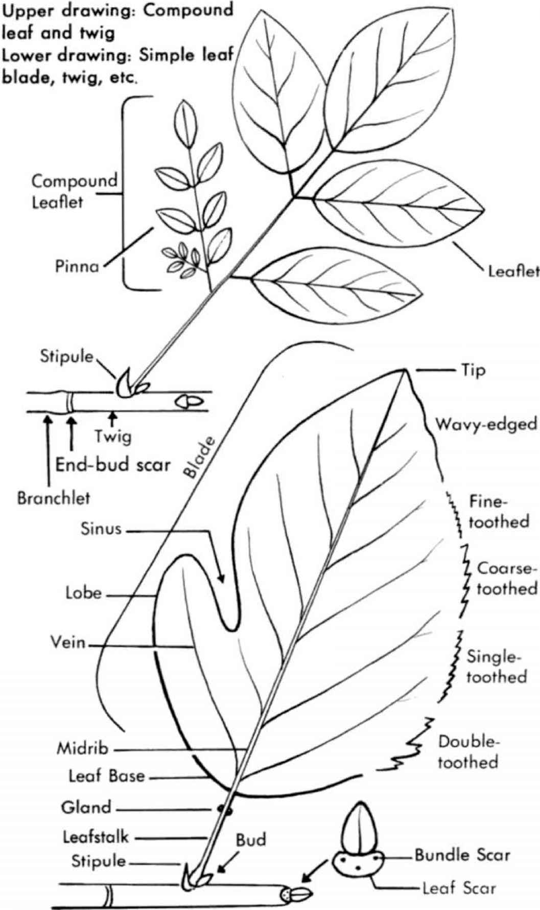 how to draw stem and leaf diagram two step dance steps use this book small tree medicinal plants archive