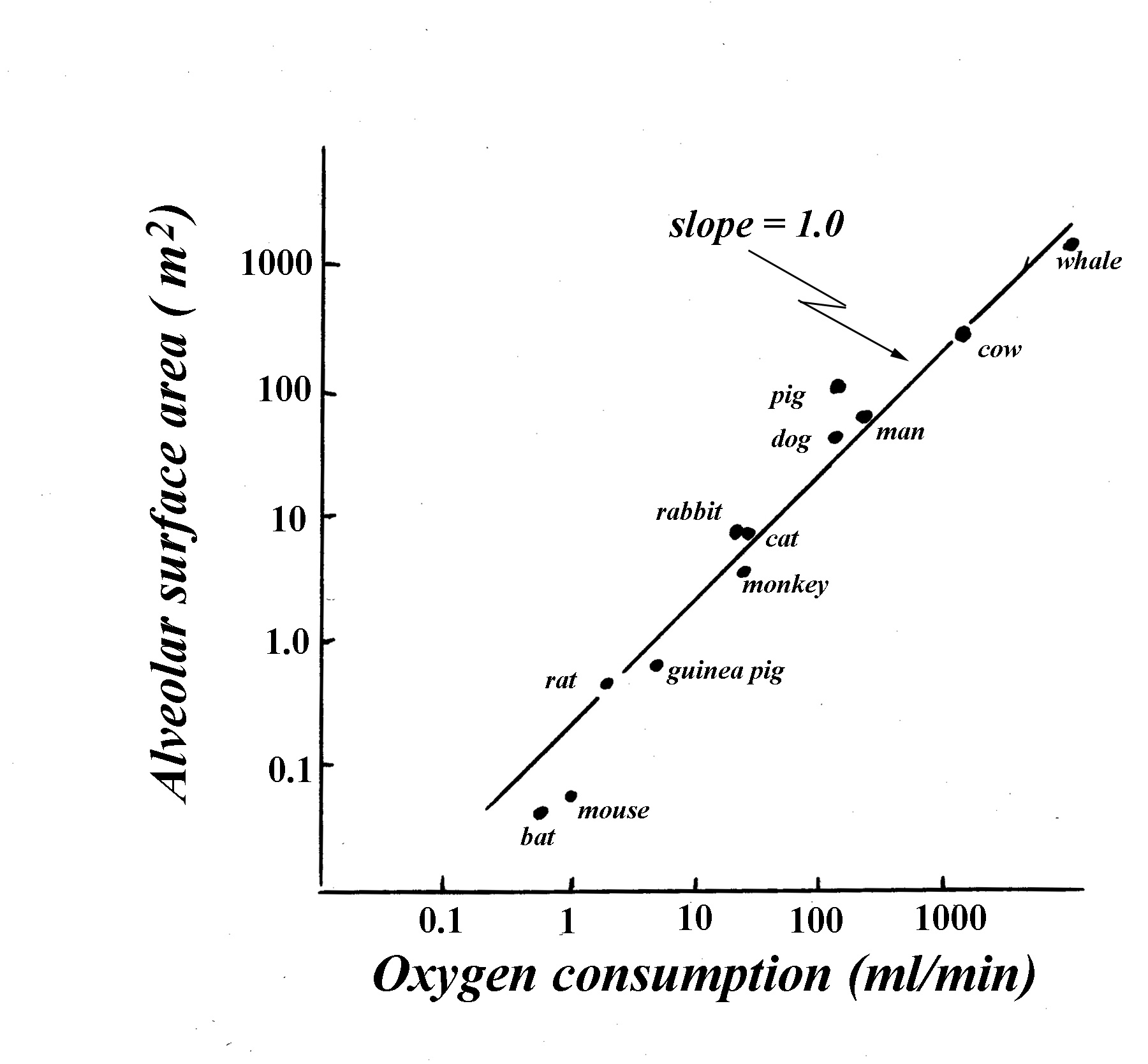 hight resolution of indeed among species lung surface area is not directly proportional to bw or lung volume rather it is proportional to the vo2 of the species fig 16