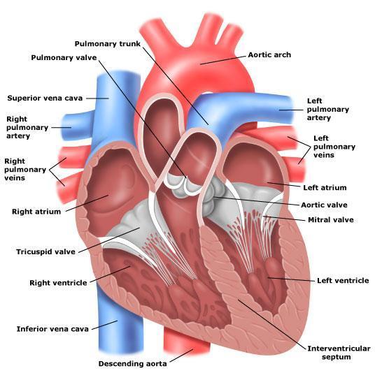ECG Tutorial 1 Anatomy & Electrical System Medicore Medical