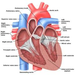 Pig Heart Diagram Interior 1997 Ford F 150 Starter Ecg Tutorial 1: Anatomy & Electrical System - Medicore Medical Services ...