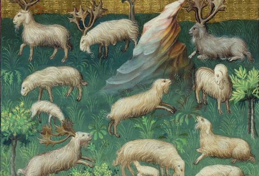 Medieval hunt - images of sheep