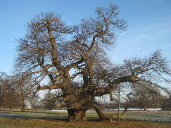 These trees can remain standing for centuries. The Fredville Oak, also known as Magesty is located in Kent, and is believed to be between 500 and 600 years old.