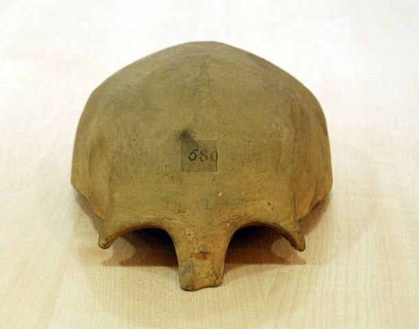 Cast of Bede's Skull - Photo: J. Story, with  permission  of  the  director  of  the  Duckworth  Laboratory  at  the University  of  Cambridge,  Leverhulme  Centre  for  Human  Evolutionary Studies