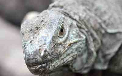 Komodo Dragons' Blood Can Help Fight Deadly Infections