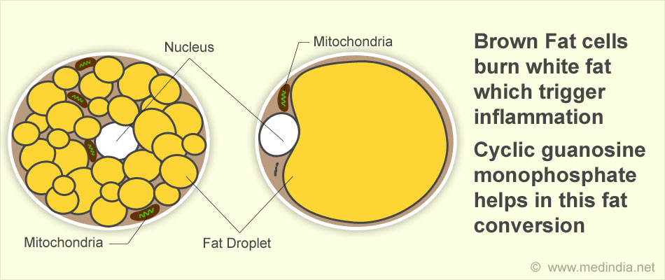 white fat cell diagram turtle shell wiring inflammation halts brown cells to burn fatfat 18