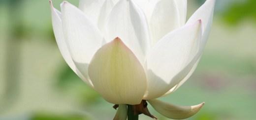 lotus, loto