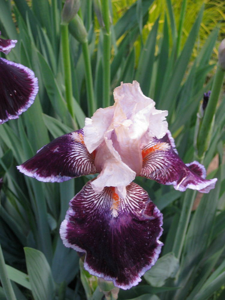 A guest donated iris