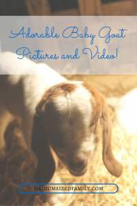 Adorable Baby Goat Pictures and Video!