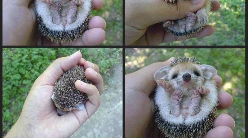 mali ježevi